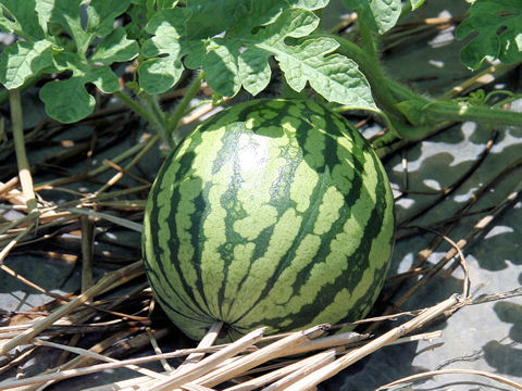 Water melon seedless